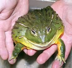 Dangerous Food - African Bullfrog alive