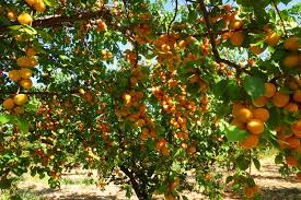 Dangerous Food - Apricot Tree