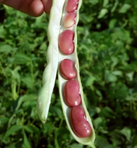 Dangerous Food - Red Kidney Beans raw